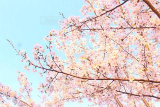 桜と青空の写真・画像素材[1099598]