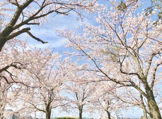 大きな木の写真・画像素材[1108733]