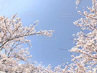 桜と青空の写真・画像素材[1108763]