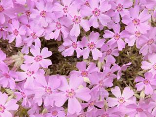 芝桜の写真・画像素材[1122466]