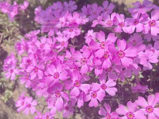 芝桜の写真・画像素材[1136154]
