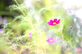 秋桜の写真・画像素材[1136384]