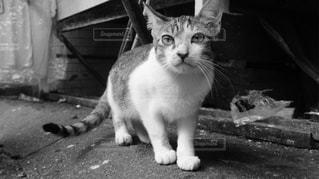 カメラを見ている猫の写真・画像素材[1232619]