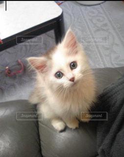 ソファに座って猫の写真・画像素材[1257587]