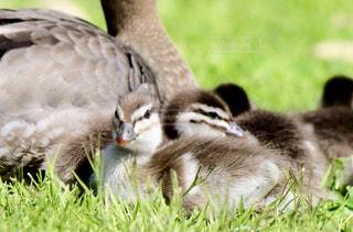 自然,動物,鳥,笑顔,赤ちゃん,鴨,驚き,サプライズ,雛,びっくり