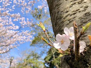 空,花,春,桜,木,青い空,花見,サクラ,満開,お花見,イベント,草木,さくら