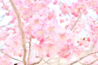花,春,桜,木,ピンク,花見,サクラ,満開,お花見,さくら,開花