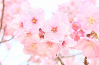 花,春,桜,木,花見,サクラ,満開,お花見,イベント,さくら