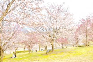 公園,花,春,桜,木,花見,景色,お花見,イベント,草木,桜の花,さくら