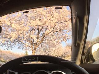 花,春,桜,木,夕焼け,車,窓,花見,サクラ,満開,お花見,イベント,ミラー,運転,車両,さくら,開花