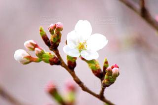 花,春,桜,木,花見,花びら,お花見,イベント