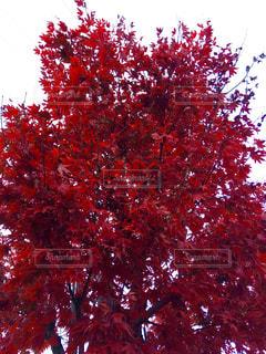 赤い紅葉の写真・画像素材[857808]