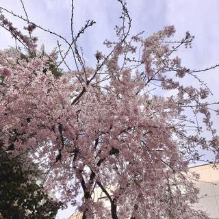 桜の木の写真・画像素材[3089262]