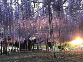 花,夕日,綺麗,紫,夕方,藤,足利フラワーパーク
