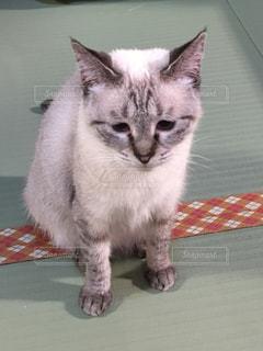 灰色と白猫がテーブルに座っての写真・画像素材[1281645]