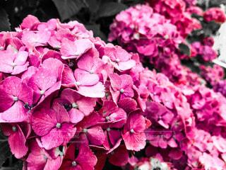 花,カメラ,紫陽花,梅雨,お散歩,一眼レフ,アジサイ