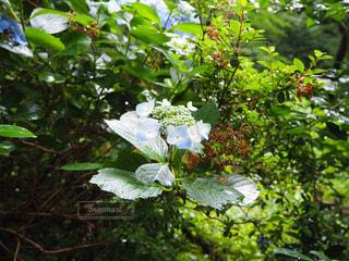 #梅雨#紫陽花の写真・画像素材[559993]