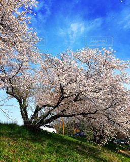青空と、桜と、白い車。 - No.1094267