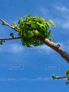 イチョウの新芽の写真・画像素材[1100275]