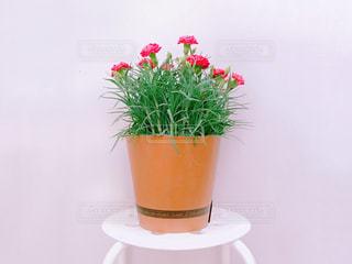 カーネーションの鉢植えの写真・画像素材[1197185]
