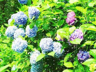 自然,花,雨,屋外,緑,あじさい,紫,水滴,水色,景色,鮮やか,紫陽花,梅雨,草木,雨の日,ガーデン,フォトジェニック