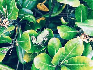 自然,屋外,緑,鮮やか,生物,生き物,グリーン,梅雨,カエル,両生類,草木,フォトジェニック