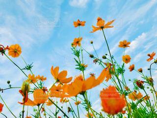 オレンジのコスモスの写真・画像素材[1374664]