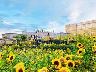 須磨水族館のひまわり畑の写真・画像素材[1382760]