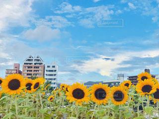 ひまわり畑と高層マンションと夏の空♪の写真・画像素材[1392125]