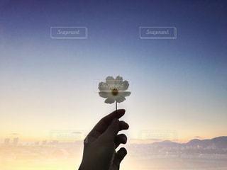 夕暮れにかざす白いコスモスの写真・画像素材[1570501]
