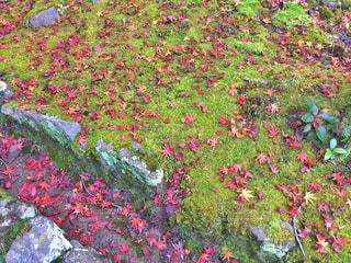 紅葉の絨毯🍁の写真・画像素材[1613070]