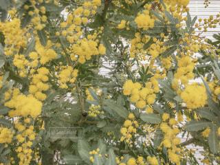 花,春,黄色,可愛い,幸せ,ミモザ,草木,インスタ映え