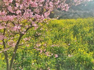 夕やけこやけラインの菜の花畑と桜の写真・画像素材[1867076]