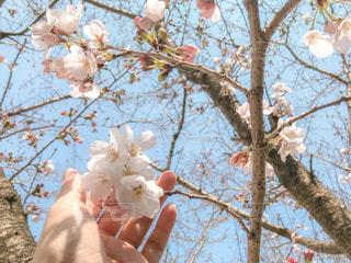 咲きかけの桜の木の写真・画像素材[1873159]