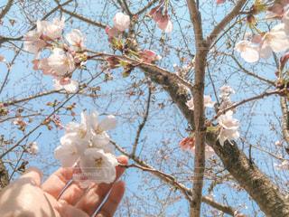咲きかけの桜の写真・画像素材[1873169]
