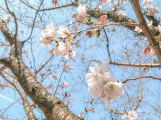 咲きかけの桜の写真・画像素材[1873174]