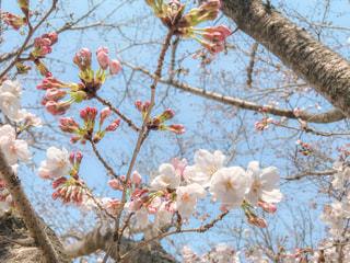 咲きかけの桜の写真・画像素材[1873203]