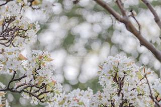 すももの花の写真・画像素材[2003680]