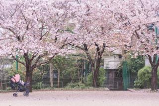 公園の3本の桜とAttO と娘♪の写真・画像素材[2027358]