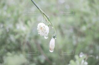雨上がりのスノーフレークの写真・画像素材[2036021]