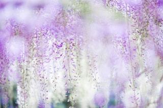 紫,パープル,藤,キラキラ,玉ボケ,藤棚,藤の花,ふんわり,薄紫,前ボケ,ファンシー,抽象的,フィルム風,ドリーミーフォト,ボケフォト