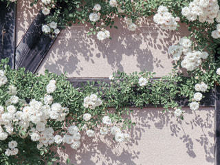 白いつるバラの壁の写真・画像素材[2281359]