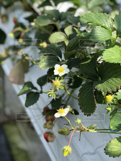 近くに果物の木のアップの写真・画像素材[1885723]