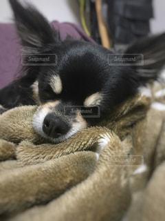 犬,チワワ,黒,ペット,寝顔,寝る,毛布,天使,ロングコートチワワ,ブラックタン