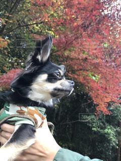 秋の紅葉満喫の写真・画像素材[841160]