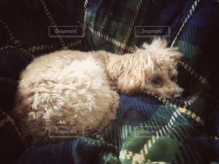 毛布の上に横たわる犬の写真・画像素材[981939]