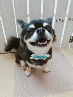 笑顔な愛犬の写真・画像素材[1184077]