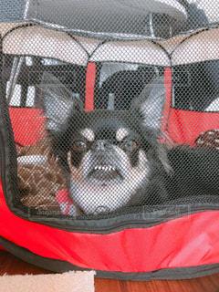 サークルから早く出して!変顔アピールの愛犬の写真・画像素材[1184101]