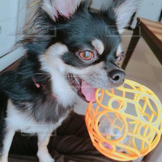 ボールで遊び催促する愛犬の写真・画像素材[1185642]