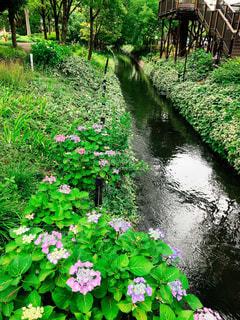 木,ピンク,階段,葉っぱ,紫,川,水面,水辺,木々,紫陽花,キラキラ,木製,梅雨,倉敷,せせらぎ,岡山県,みらい公園